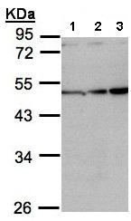 Western blot - Inhibin beta A antibody (ab97705)