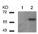 Western blot - AKT2 (phospho S474) antibody (ab97727)