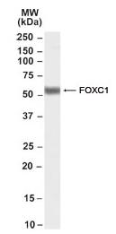Western blot - FOXC1 antibody (ab97742)