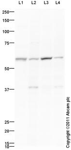 Western blot - ZSCAN4 antibody (ab97748)