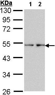 Western blot - Anti-Fascin antibody (ab97753)