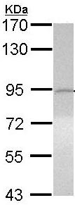 Western blot - ITIH3 antibody (ab97758)