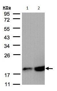 Western blot - COX IV antibody (ab97770)