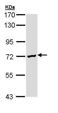 Western blot - DAZ2 antibody (ab97772)