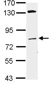 Western blot - Lamin A + C antibody (ab97774)
