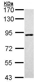 Western blot - SLC26A8 antibody (ab97782)