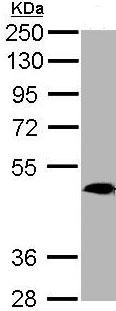 Western blot - MRGPRX4 antibody (ab97784)
