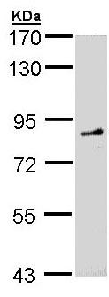 Western blot - FGD4 antibody (ab97785)