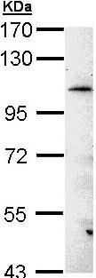 Western blot - Anti-LRGUK (Mutated V15 T) antibody (ab97789)