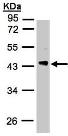 Western blot - PDCL antibody (ab97790)