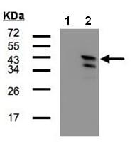 Western blot - CAMK1D antibody (ab97791)