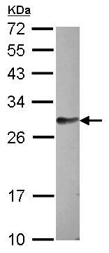 Western blot - FAM122B antibody (ab97797)