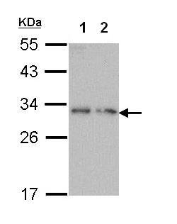 Western blot - Dynorphin A antibody (ab97798)