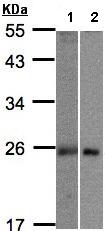 Western blot - MID1IP1 antibody (ab97806)