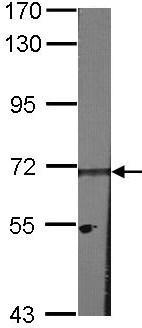 Western blot - HPSE2 antibody (ab97807)
