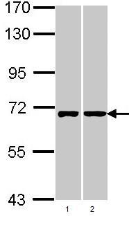 Western blot - RIC8A antibody (ab97808)