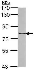 Western blot - C6orf97 antibody (ab97814)