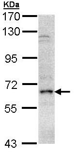 Western blot - Anti-eIF2A antibody (ab97817)