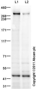 Western blot - ITPR1 antibody (ab97823)