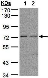 Western blot - FLRT1 antibody (ab97825)