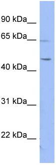 Western blot - RNF12 antibody (ab97838)