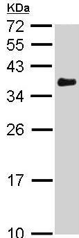 Western blot - Anti-VDAC1/Porin antibody (ab97851)