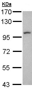 Western blot - LUZP1 antibody (ab97855)