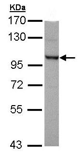 Western blot - OFD1 antibody (ab97861)