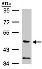 Western blot - PI 3 Kinase p55 gamma antibody (ab97862)