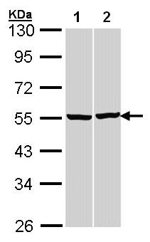 Western blot - beta Tubulin antibody (ab97872)
