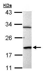 Western blot - BCL2L15 antibody (ab97886)