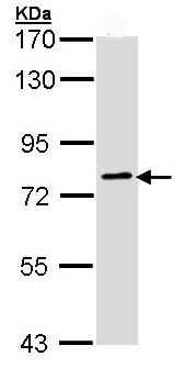 Western blot - GOLGA6 antibody (ab97888)