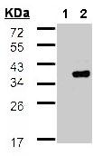Western blot - WBSCR22 antibody (ab97911)