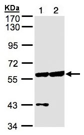 Western blot - CPNE3 antibody (ab97919)
