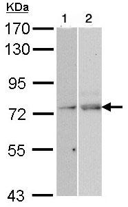 Western blot - NXF1 antibody (ab97922)