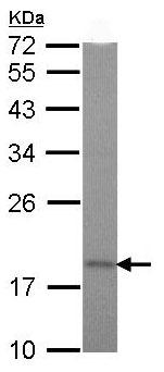Western blot - TIMM17A antibody (ab97923)