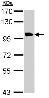 Western blot - Meckelin antibody (ab97934)
