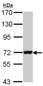 Western blot - GBP3 antibody (ab97935)