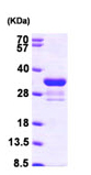 SDS-PAGE - Rad1 protein (ab97946)