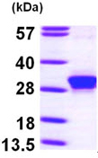 SDS-PAGE - RND3 protein (ab97952)