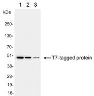 Western blot - Anti-T7 tag® antibody (ab97964)