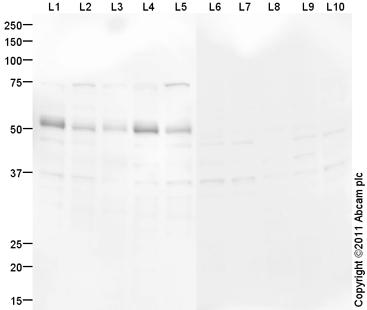 Western blot - PBX1 antibody (ab97994)