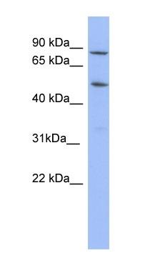 Western blot - TRIM10 antibody (ab98008)