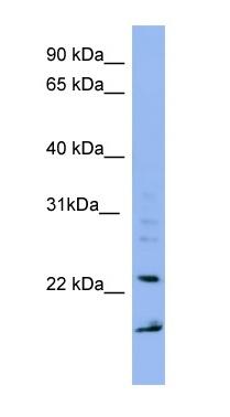 Western blot - IMP3 antibody (ab98010)