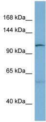 Western blot - DNAJC10 antibody (ab98044)