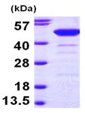 SDS-PAGE - NCF1 protein (ab98054)