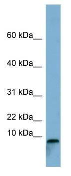 Western blot - TCTA antibody (ab98063)