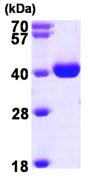 SDS-PAGE - WDR5 protein (ab98079)