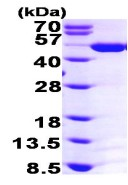 SDS-PAGE - ASS1 protein (ab98084)