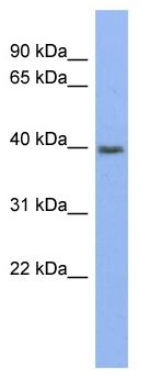 Western blot - Pannexin 3 antibody (ab98093)